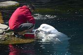 Beluga Whale Feeding In The Aquarium
