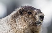 stock photo of marmot  - Close up portrait of a hoary marmot