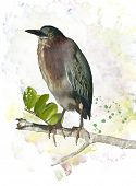 Digital Painting Of Green Heron Perching