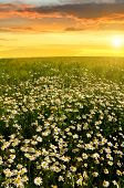 Field of marguerites in the sunset