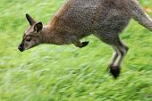 Kangaroo in blurred motion