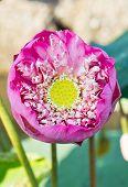 Abloom Pink Lotus.