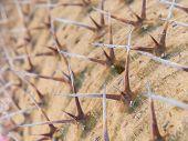 Close Up Thorn On Madagascar Palm