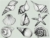 Hand Drawn Collection Of Various Seashell Illustrations Isolated On  Background