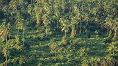 Coconut Tree in Forrest Tropical Landscape