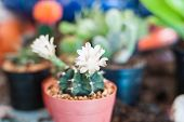 Close Up Of Cactus Flowers
