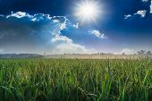 Landscape Rice Field  With  Sun