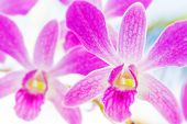 Pink streaked orchid flower on natural background