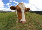 Great Cow Grazing Shot With Fisheye Lens