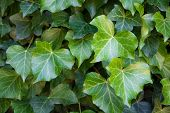 Ivy Closeup