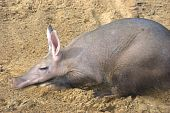 foto of ant-eater  - Aaardvark relaxing lying down in zoo in sand - JPG