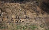 picture of deer family  - Small herd of roe deer  - JPG