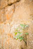 stock photo of wall-stone  - The plant grows to a stone wall - JPG