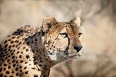 image of cheetah  - The Cheetah Portrait sneaking closeup with blurry background behind - JPG