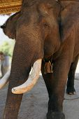 stock photo of tusks  - Old male elephant with large tusks Pine Breeze Elephant conservation camp near Kalaw Myanmar  - JPG