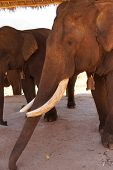 picture of tusks  - Old male elephant with large tusks Pine Breeze Elephant conservation camp near Kalaw Myanmar  - JPG