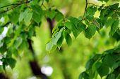 foto of linden-tree  - deciduous tree in height of spring - JPG