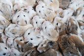 stock photo of hamster  - close up view of many hamsters  as background - JPG