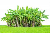 image of banana tree  - banana tree with fresh green grass isolated on white - JPG