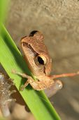 stock photo of pet frog  - Closeup of frog head Focus on eye  - JPG