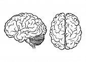 pic of anatomy  - Vector human brain - JPG