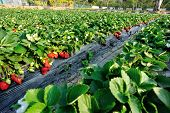 picture of strawberry plant  - green strawberry plants in growth  at field - JPG