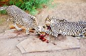 picture of cheetah  - Two Cheetahs in Captivity, Feeding Together on Raw Meat, in Sandy Shady Enclosure ** Note: Soft Focus at 100%, best at smaller sizes - JPG