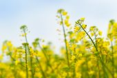 picture of cultivation  - Oilseed Rapeseed Flower Close up in Cultivated Agricultural Field Selective Focus with Shallow Depth of Field Crop Protection Agrotech Concept - JPG