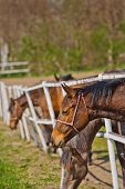 stock photo of herd horses  - Herd of Beautiful Young Horses Graze on the Farm Ranch Animals on Summer Pasture - JPG