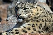 stock photo of snow-leopard  - portrait of a snow leopard lying in the sun on a rock staring to the left - JPG