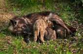 picture of lupus  - Black Wolf  - JPG