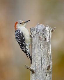 foto of woodpecker  - Female Red-bellied Woodpecker (Melanerpes carolinus) on a Dead Tree Stump - Ontario Canada ** Note: Visible grain at 100%, best at smaller sizes - JPG