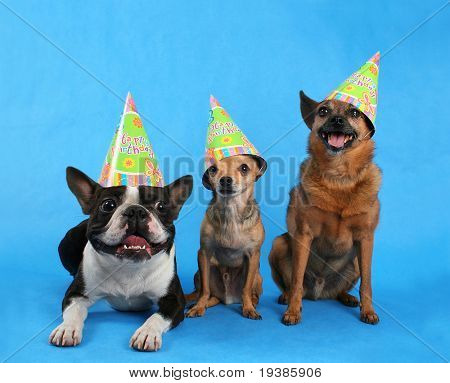 three dogs with birthday hats