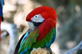 Red And Green Macaw Parrot