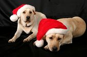 picture of seasons greetings  - two  yellow labrador retrievers with red santa claus stocking hats on - JPG