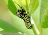 Danaus Plexippus - Monarch Caterpillar B Macro