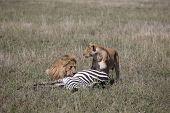Wild Lion Mammal Eating Zebra Africa Savannah Kenya poster