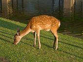 Nara Fawn Grazing
