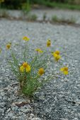 Daisy in the Road