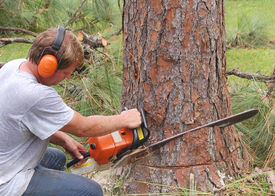 stock photo of cutting trees  - Man using a chain saw to cut down a pine tree - JPG