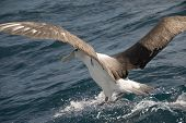 Albatross Landing In Sea