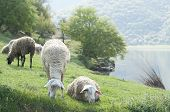 Lazy sheep by the lake