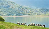 Sheep by the lake