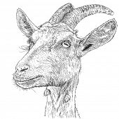 goat - a portrait - a drawing. Bitmap copy my vector