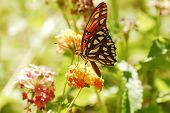 A Gulf Fritillary Butteryfly Alit on Blossoms