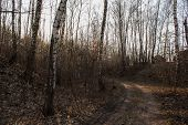 Birch Tree Grove In Spring. The Road In The Birch Grove Spring, The Path In The Forest Among The Bir poster
