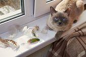 Bird Hunting. The Cat Is A Hunter. Gray Siamese Cat Sitting Near The Window On The Windowsill Next T poster