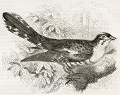 Dideric Cuckoo old illustration (Chrysococcyx caprius). Created by Kretschmer, published on Merveill