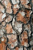 Pine Tree Bark Texture And Background, Macro View Of Natural And Organic Pine Bark Pattern. Rough An poster
