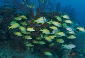 Schooling Grunts and Porkfish